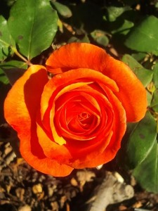 Orange Rose - GDC